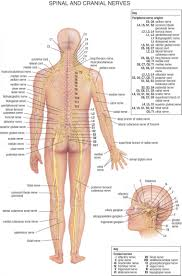 16 Rational Anatomical Nerve Chart