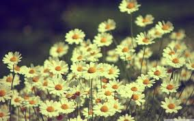 tumblr wallpapers desktop vintage. Simple Wallpapers Tumblr Static Vintage Daisies Photography Hd Desktop Wallpaper High  Definition Art Beautiful Photo Throughout Wallpapers A
