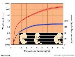 Fetal Development Chart Illustration 12907654 Megapixl