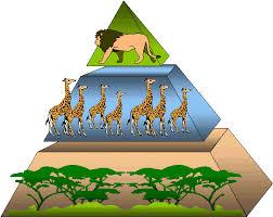 food web pyramid food web and energy pyramid classtalkers school work helper
