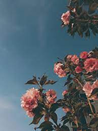 Aesthetic Rose Flowers Wallpapers on ...