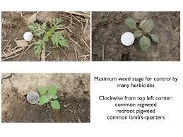 Can I Apply Post Emergent Herbicides To Soybeans Before The