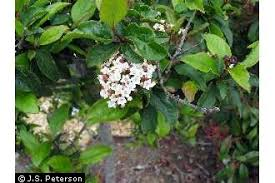 Plants Profile for Viburnum tinus (laurustinus)