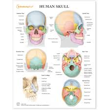 Human Skull Chart Poster Laminated