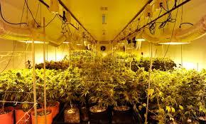 growing pot legally in colorado