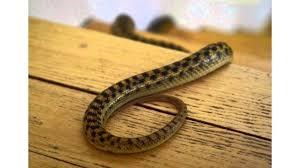 Hasil gambar untuk mengusir ular