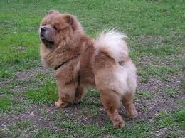 Growth Chow Chow Puppy Weight Chart Chow Chow
