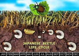 japanese beetles life cycle japanese beetles in the urban landscape entomology