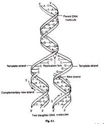dna replication diagram molecular biology dna replication is semi conservative