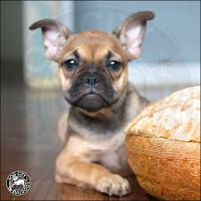 your new addition into your life this week contact rachel fogcitybulldogs for more information if you are looking to add a french bulldog puppy to