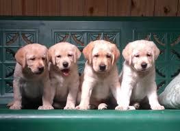 orlando retriever puppies