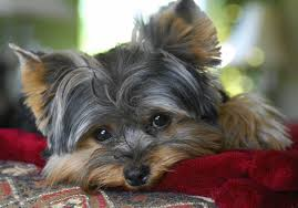 Cute Dog Yorkie Yorkshire Terrier (Page ...