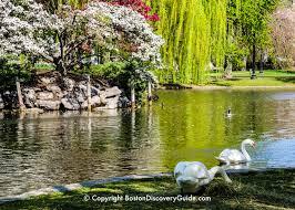 swans in boston public garden