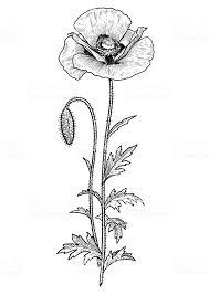 ケシの花イラスト デッサン彫刻インクライン アートベクトル まぶしいのベクターアート素材や画像を多数ご