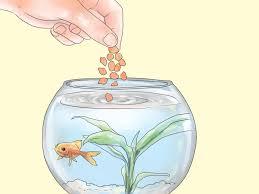 Come tenere nellacquario di casa il persico trota e altri pesci