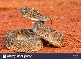 rattlesnake strike pose.  Rattlesnake Western Diamondback Rattlesnake In Aggressive Strike Pose  Stock Image Inside Rattlesnake Strike Pose