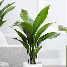 house plants. Aspidistra Elatior House Plants
