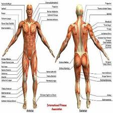 Human Anatomy Chart View Specifications Details Of Human