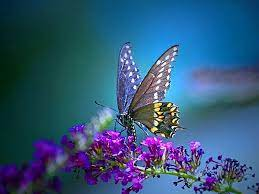 Butterfly PC Wallpapers - Top Free ...