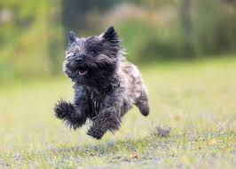 image showing a little cairn terrier running in the park