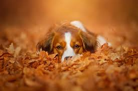 Cute Dog in Autumn Leaves HD Wallpaper ...
