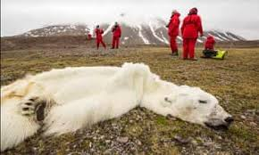 Starved polar bear perished due to record sea-ice melt, says expert |  Wildlife | The Guardian