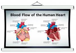 Human Blood Flow Chart Diagram Showing Blood Flow In Human Heart Vector Free Download