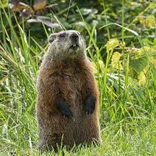 how to keep groundhogs out of my garden. About Groundhogs How To Keep Out Of My Garden G