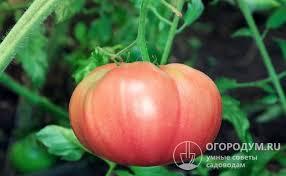 <b>Томат Малиновый гигант</b>: отзывы, описание сорта, фото
