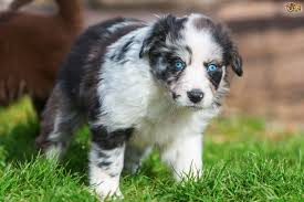 At What Age Do Puppies Develop Their Adult Eye Colour
