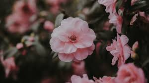 Aesthetic Rose Wallpapers: 20+ Images ...