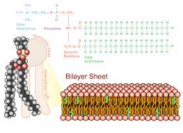 Phospholipid Bilayer Read Biology Ck 12 Foundation