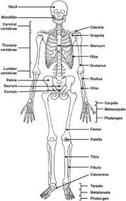 skeletons  skeleton labeled and worksheets on pinteresta diagram of a skeleton