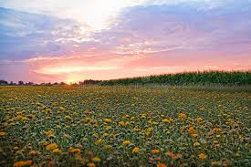 flower field sunset. Download Flower Field At Sunset. Stock Photo. Image Of Brown, Light - 60532982 Sunset