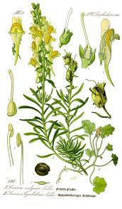 Linaria (plante) — Wikipédia