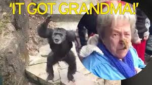 it got grandma cheeky chimp throws handful of poo in oaps face it got grandma cheeky chimp throws handful of poo in oaps face at zoo as onlookers burst into hysterics