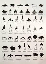 Types Of Sharks Chart Sharks Teeth Identification Chart Small Shark Shark