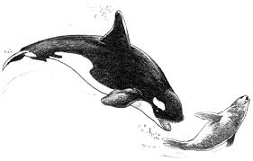 Small Picture orca coloring page 100 images orca coloring pages free
