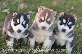 brown and black husky puppies. Delighful Puppies Two Black And White One Red Puppy Rothert Huskies  And Brown Black Husky Puppies E