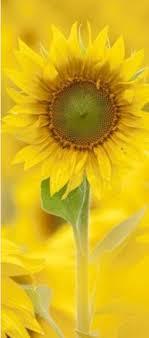 Pin by Myrna Burke on Just love it...... | Beautiful flowers, Yellow  sunflower, Flower field