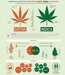 Sativa And Indica Chart Pin On Garden
