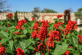 growing red salvia sun and soil needs care
