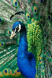 peacock wallpaper for mobile. Unique Peacock Peacocks Wallpapers Android App Screenshot  With Peacock Wallpaper For Mobile A