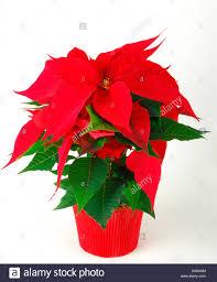 Roter Weihnachtsstern Stock Photos Roter Weihnachtsstern