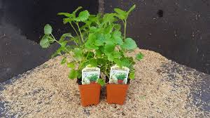 lemon balm is a refreshingly humble member of the mint family which means like its ier cousins it is a vigorous grower easy to grow and maintain