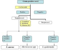Gram Negative Bacteria Flow Chart Gram Positive Cocci