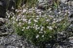 FLOREALPES : Dianthus furcatus / Oeillet fourchu ...
