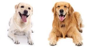 labrador retriever.  Retriever Labrador Retriever Vs Golden For Labrador Retriever R