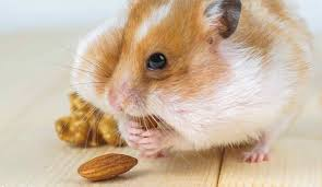 Hamster chubby teen in