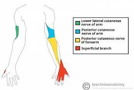 Nerves Of The Upper Limb Teachmeanatomy